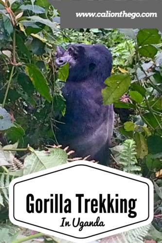 A first hand account of the adrenaline rush that is gorilla trekking in Uganda! Find out what it is like and what to bring!