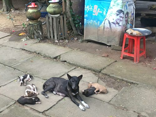 puppies in yangon