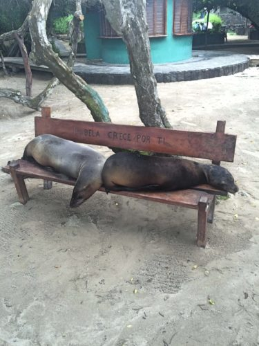 Sealions on a bench Isabela Galapagos